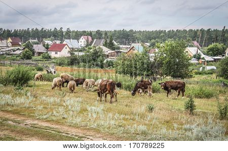 Cows and sheep grazing in the village