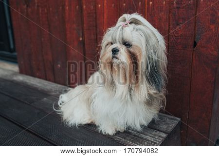 Shih tzu dog sitting and guarding house