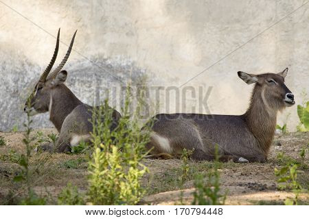 Image of an antelope relax on nature background. Wild Animals.