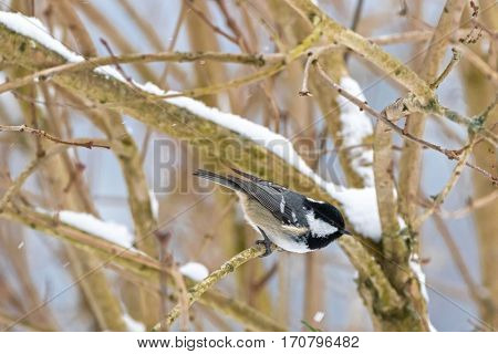 Coal tit, small passerine bird in yellow grey with black white nape spot on head, perching on tree branch all alone while snowing during winter in Austria, Europe (Periparus ater)