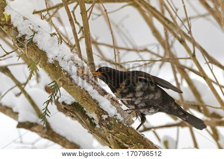 Male Common blackbird bird in black with albino grey white feather, yellow eye ring eating homemade bird cookie on tree branch cover with snowflakes during winter in Austria, Europe (Turdus merula)