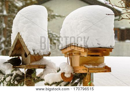 Thick snow falling on roof of wooden bird feeder with Common blackbird used as shelter during snowfall, winter in Europe