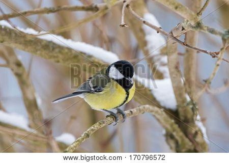 Cute little Great tit bird in yellow black color sitting on tree branch all alone with snow on beak, winter in Austria, Europe (Parus major)