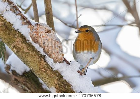 European robin redbreast bird eating homemade bird feeder, coconut fat cookie with nut, raisin wrapping on branch, winter in Austria, Europe (Erithacus rubecula)
