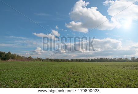 winter wheat on a field. A close up