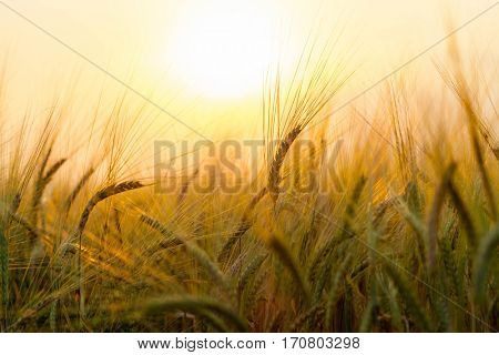 Wheat field on the background of the setting sun