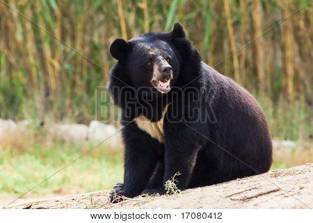 black bear roaring in nature