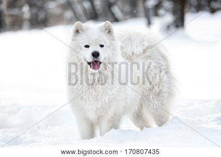 Cute samoyed dog in park on winter day