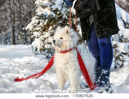 Cute samoyed dog with owner in park on winter day