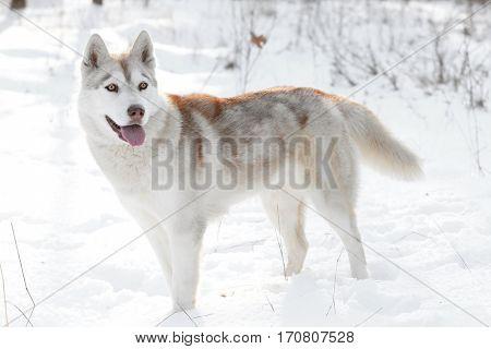 Happy Siberian husky on walk in winter park