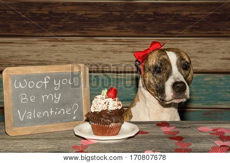 An American Staffordshire bull terrier with a gift on Valentine's Day