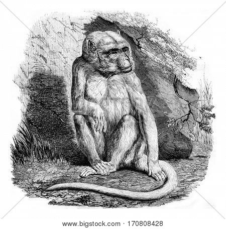 The albino monkey, a menagerie of the Museum of Natural History, vintage engraved illustration. Magasin Pittoresque 1842.
