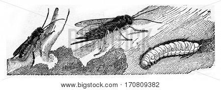Sirex juvencus, vintage engraved illustration.