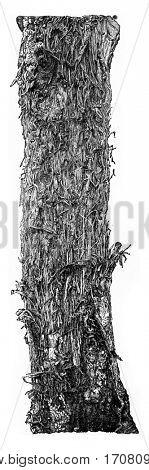 Result produced by bites of Picus major, on the surface of an oak trunk, vintage engraved illustration.