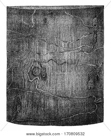 Pissodes harcyniae larvae galleries and cradles puppessur spruce, vintage engraved illustration.