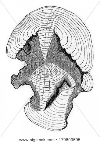 Cross-section at the stem shown in fig, previous, vintage engraved illustration.