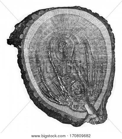 Wood oak attack the mycelium of Polyporus sulphereus, vintage engraved illustration.