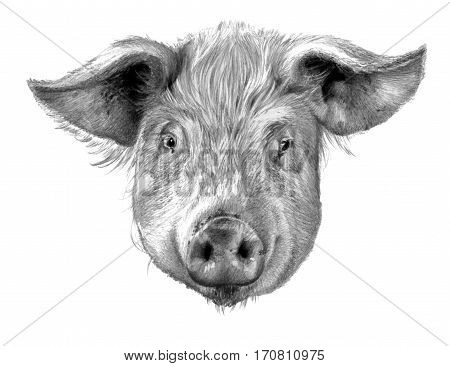 Pig`s head isolated on white background. Pencil drawing monochrome image
