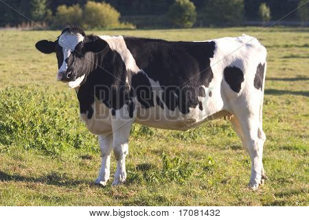 A fresian cow standing in the English countryside