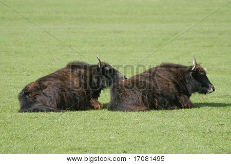 A pair of long haired yaks relaxing in the sunshine