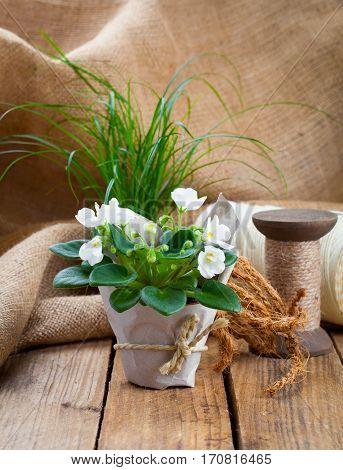 white Saintpaulia flowers seedling on wooden background