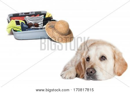 Studio shot of a sad Golden Retriever lying in front of a suitcase packed with clothes straw hat and a smart phone. Everything is on a white background.