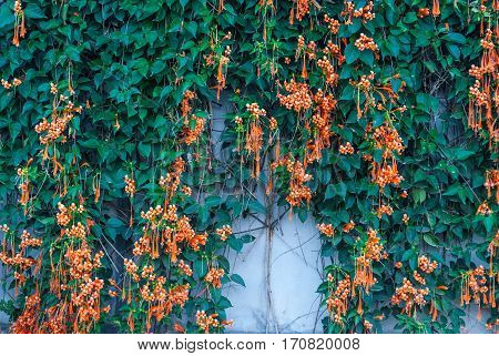 Closeup Fresh Pyrostegia Venusta/ Orange Trumpet/ Flame Flower/ Firecracker Vine Background