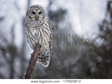 Close up image of a barred owl, in the wild, with snow.