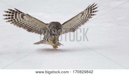 Barred owl, in the wild, hunting for prey