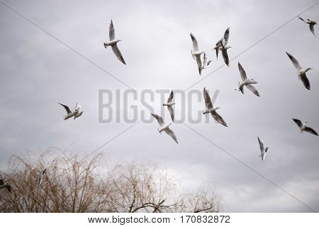 Seagull flying in the sky. Ring billed gull in flight