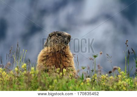 young marmot stands between grass Trentino Italy