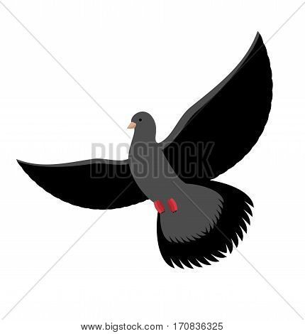 Black Dove Isolated. Dark Pigeon On White Background.bird Flying