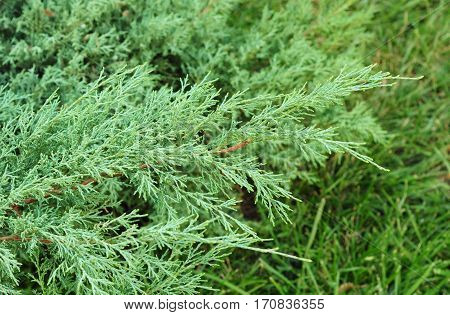 Juniper branch background. Beautiful Evergreen Juniper Background.