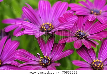 Purple daisies with shallow depth of field