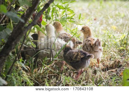 Belarus-July 3 2016 Chicken called her chicks to feed them chickens gathered around the mother hen fluffy chicken