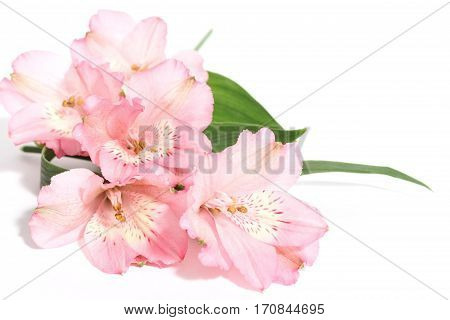 small bouquet of pink alstroemeria on a white background with space for text on the right