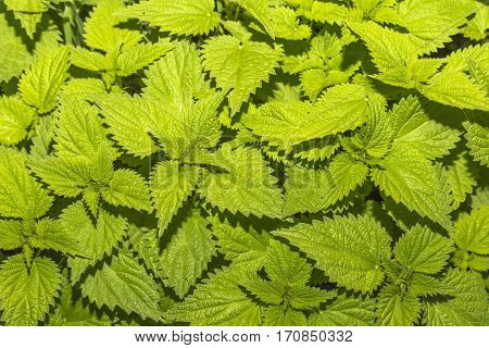 stinging nettles (Urtica) with fresh green leaves in the sunlight