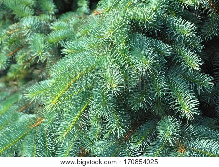 Christmas tree. Blue spruce branches on a textured background. Blue spruce green spruce white spruce. Artificial Christmas Tree Blue Christmas Tree.