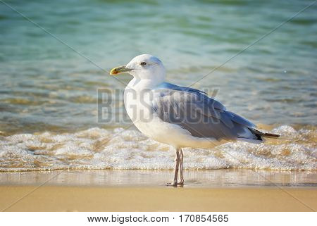 Seagull Near the Coast. Seagull and sea wave