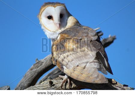 Barn owl sitting on dead wood against blue sky