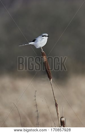 Northern grey shrike (Lanius excubitor) sitting on a typha plant in its habitat