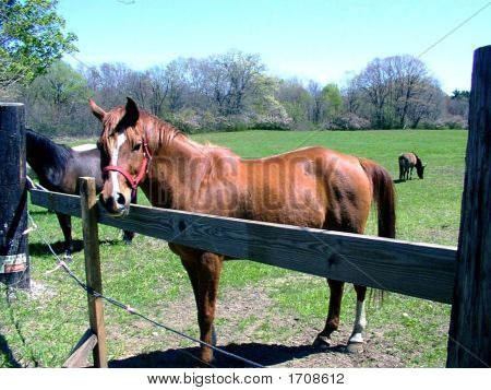 Red Gold Chestnut Horse at Wooden fence
