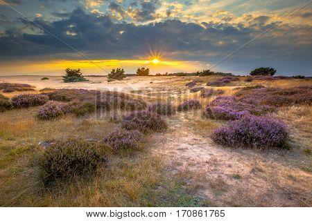 Hoge Veluwe Sand Dunes With Heath