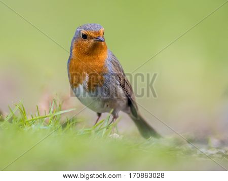 Sideways Looking Robin With Bright Green Background