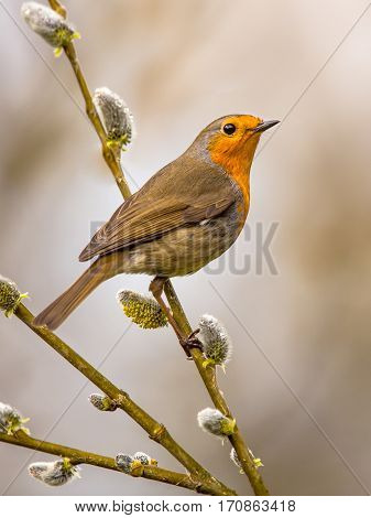 Robin On Pussy Willow
