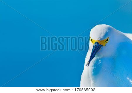 a front view of a snowy egret