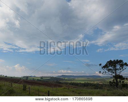 Araucaria tree (Araucaria angustifolia) scene nature clouds background