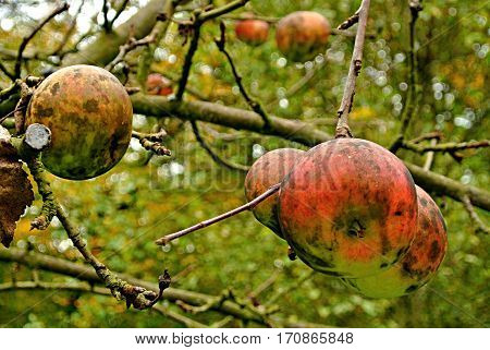 Wild apples on the tree in Wallachia