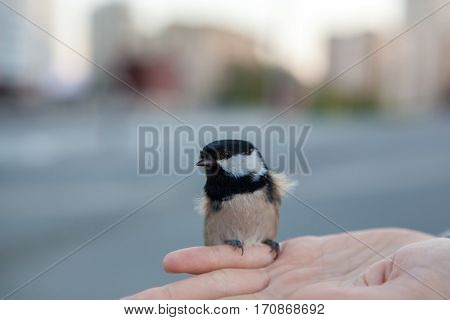 titmouse in hands, isolated on nature background