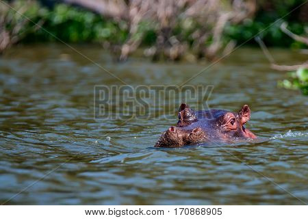Close-up of hippo or Hippopotamus amphibius is resting in the water during the day
